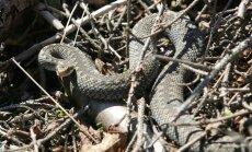 Mediķi aicina nepieļaut kļūdas pēc čūsku kodieniem