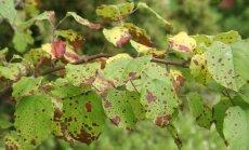 Likstas piemājas kokiem – izplatītākās slimības un to novēršana