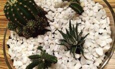 Eksotika istabā: pamācība kaktusu terārija izveidei stikla traukā