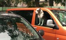 Automašīnā atstāts draudīgs suns traucē citam autovadītājam iekļūt savā spēkratā