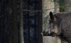 PVD resursu trūkuma dēļ pārtraucis meža cūku līķu un blakusproduktu transportēšanu