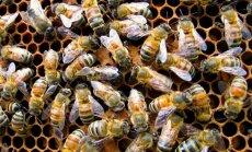 Veikalos iegādāti augi ASV nogalina bites