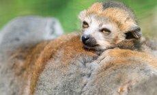Foto: Skaistais vainaga lemurs – viens no apdraudētākajiem primātiem pasaulē