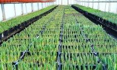 """ФОТО. Искусственная """"весна"""" и другие хитрости. Как в Цесисе к 8 марта 60 тыс. тюльпанов растили"""