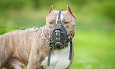 Agresīva suņa dēļ Monreālā ar likumu aizliedz pitbulus