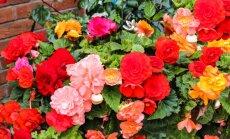 Lai nākamgad atkal zied kā kupenas: padomi begoniju pārziemināšanā