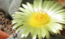 Fotoreportāža: Kaktusi - zvaigznes un citi sukulenti Dabas muzejā
