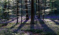 Foto: Zilo zvaniņu 'jūra' Beļģijas dižskābaržu mežā