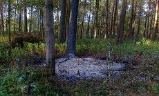 Foto: Pēc tīrīšanas Juglas mežā paliek zaru kaudzes un izceļas ugunsgrēks