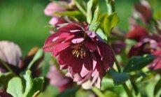 Foto: Mazo ziedu burvība botāniskajā dārzā Salaspilī