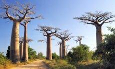 Āfrikas baobabi saskaras ar bojāejas draudiem