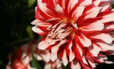 Foto: Botāniskajos dārzos sākušas ziedēt atvasaras karalienes dālijas