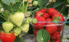Latgales zemnieku saimniecībā novākta šogad pirmā zemeņu raža