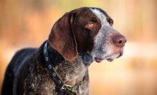 Universālais kurchārs – lielisks darba suns, kas gandrīz visu izdara mednieka vietā