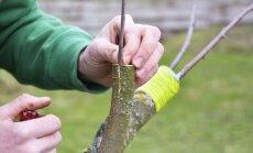 Ābeļu potzari – kad un kā pareizi potēt augļu kokus