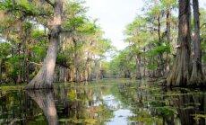 Foto: Aligatori, 'bārdainas' cipreses un citi brīnišķīgi neskarta purva skati, kas paveras no laivas Luiziānā