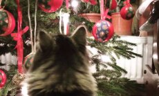 Mirklis pirms nedarbiem: šķietami mierīgi kaķi pie svētku eglītes