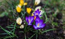 Kas darāms dārzā no 24. aprīļa līdz 1. maijam?