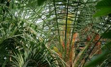 Botāniskajā dārzā neparastā laikā uzziedējusi atliektā fēnikspalma