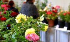Foto: Latvijas Dabas muzejā uzplaukst vairāk nekā 100 krāšņu rožu