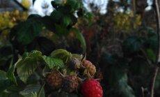 Foto: Zemgalē sārtojas šosezon otrā aveņu raža