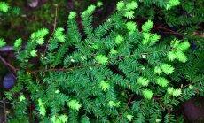 Majestātiska dārza rota – hemlokegle un tās audzēšana