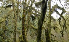 Mežs, kurā valda pilnīgs klusums - sūnām klātais Olimpijas parks ASV