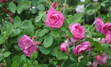 Salaspils botāniskajā dārzā 18. jūnijā notiks stādu tirdziņš