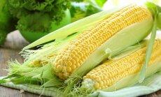 EP iebilst pret jaunu ģenētiski modificētas kukurūzas šķirni