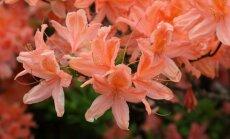 Foto: Rododendru ziedēšana Botāniskajā dārzā