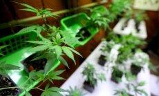 Šveice sola atbalstīt pētījumus par marihuānas lietošanu