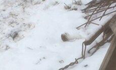 Video: Aculiecinieku samulsina pagalmā pamanīts 'bezbailīgs dzīvnieciņš'