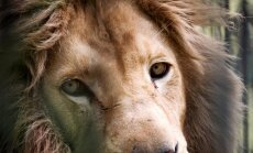В обновленный вольер в Рижском зоопарке возвращаются львы