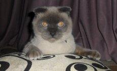 Sibīrijas pilsētas iedzīvotāji mēra amatā grib redzēt kaķi