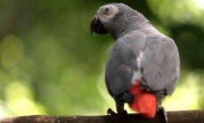 Papagailis iesaistīts slepkavības izmeklēšanā ASV