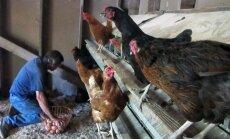 Скандал с яйцами в Rimi: ПВС не нашла нарушений на птицефермах Kaušēnu paukštynas