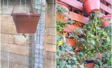 Soli pa solim: Kā stādīt tomātus, kas aug saknēm gaisā
