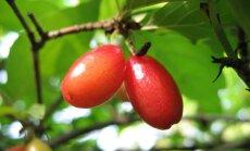 Cīravas centrā augs vīnogas, kizils un valrieksti