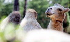 'Rakšos' piedzimis kamieļpuika Cēzars