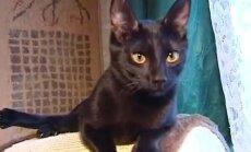 Retums Latvijā - krievu melnie kaķi