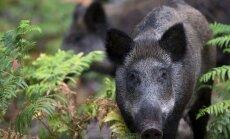 Šonedēļ Latvijā atrastas 11 no ĀCM nobeigušās mežacūkas