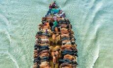 Dienas ceļojumu foto: Zemnieks Bangladešā ved lopus uz tirgu