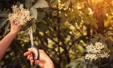 LU Botāniskais dārzs aicina iepazīt augustā vācamos ārstnieciskos augus