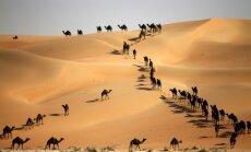 Foto: Simtiem kamieļu dodas uz skaistumkonkursu Abudabi