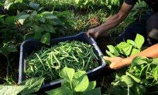 Eiroparlaments iebilst pret trim ģenētiski modificētu sojas pupu šķirnēm