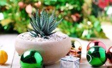 Sanpaulija, līdakaste, kaktusi un citi telpaugi, kas piemēroti dāvināšanai