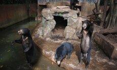 'Tievs nenozīmē neveselīgs.' Zoodārzā Indonēzijā taisnojas par izkāmējušiem lāčiem