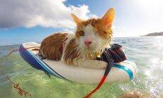 Vienacains kaķis, kurš nodarbojas ar sērfošanu Havaju salās