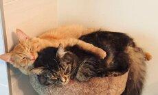 Renlijs un Lili – nešķiramie kaķīši, kuri draudzīgi guļ kopā