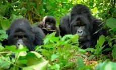 Tikai trīs valstīs: kurp doties sastapt kalnu gorillas, kas ir pieradušas pie cilvēkiem